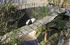 MWE-20180325-001 - bewerkt.jpg (Schuttermajoor1974) Tags: ouwehandsdierenpark wuwen dierentuin reuzenpanda rhenen utrecht nederlan nl