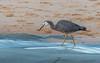 White-faced Heron (Merrillie) Tags: animal bird australia beach wildlife spoonbay wamberal nature water birds whitefacedheron animals fauna heron newsouthwales seaside