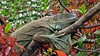 Green Iguana (Female)  Iguana iguana (jaytee27) Tags: costarica iguanaiguana greeniguanaf naturethroughthelens