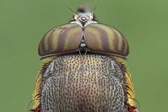 Macro Studio : fly (embebu) Tags: macro macrophotography macrography componon 35mm macrophotogarphy stacking stacker focus flies focusing stack