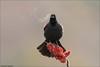 Red-winged Blackbird's Breath (Daniel Cadieux) Tags: blackbird redwingedblackbird male sing singing sumac breath seeingbreath condensation cold ottawa