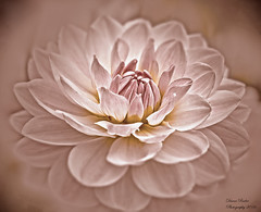 in tought...in gedanken... (anaidphotography) Tags: floral flower blooming sepia macro makro detail monchrom dahlia thought dahlie close up beautiful beauty light