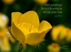 104/365 - Daily Haiku: Buttercup (James Milstid) Tags: dailyhaiku haiku haiga poetry jemhaiku buttercup