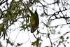Barcelona_0804181352_14 (athanecon) Tags: parrot barcelona park guell lor arbol comiendo