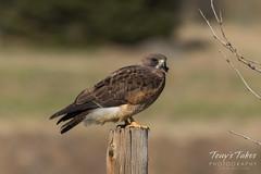 Swainson's Hawk hanging on