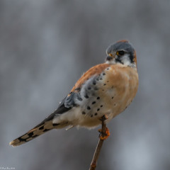 Falcon in winter (Fred Roe) Tags: nikond7100 nikkorafs80400mmf4556ged nikonafsteleconvertertc14eii nature wildlife birds birding birdwatching birdwatcher raptor falcon americankestrel falcosparverius
