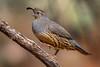 Gambel's Quail (female) (Eric Gofreed) Tags: arizona gambelsquail mybackyard quail sedona villageofoakcreek yavapaicountgy