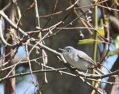 Blue-gray Gnatcatcher at Sandy Hook (Tombo Pixels) Tags: earthday bird sandyhook180532 bluegraygnatcatcher nj newjersey twb1 audubonwalk
