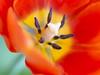 Spring time. 009 (George Ino) Tags: copyright georgeino georgeinohotmailcom thenetherlandshollandnederland utrecht voorjaarspringfrühjahrprintempsprimavera flowers bloemen lente frühling tulip tulp oranjeorange dof bokeh depthoffield