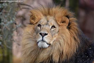 African Lion - Zoom Gelsenkirchen