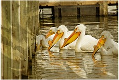 Fishing For A Snack (garywitte845) Tags: pelicans birds waterfowl texture water pier fishing