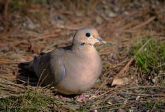 Morning Dove (Kevin James54) Tags: lakegalena mourningdove nikond850 peacevalleypark tamron150600mm zenaidamacroura animals avian bird dove kevingianniniphotocom