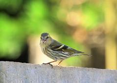 She is hungry.... (norbert.wegner) Tags: siskin leica100400 gh5 bird birds nature erlenzeisig