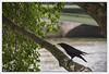Corbeau en Seine (afantelin) Tags: iledefrance paris animal oiseau corbeau corneille noir arbre fleuve pont feuillage eau