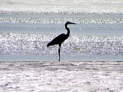 Blue Heron (thomasgorman1) Tags: heron seabird canon birds silhouette shimmering water sea baja mx mexico shore tide lowtide