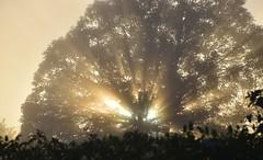 Sunrise through the fog and the foliage (PURIFM) Tags: mist fog tree niebla light luz amanecer sunrise castaño dawn