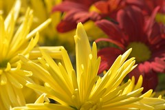 Yellow/Red (Tony Tooth) Tags: nikon d7100 nikkor 55300mm flowers yellow red bright leek staffs staffordshire