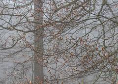 Etoiles du matin (cristievonchan) Tags: forest fog normandy normandie brouillard forêt tree arbre magic magique ecouves orne spring printemps bourgeons rouge gris peinture abstrait graphique