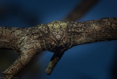 Dolophones sp. (dustaway) Tags: arthropoda arachnida araneae araneomorphae araneidae dolophones wraparoundspider australianspiders clagirabaforestreserve clagiraba coomeravalley sequeensland queensland australia australianwildlife