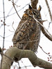 Great Horned Owl - adult (watertownshelby) Tags: owl watertown