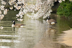 Geese Under the Cherry Tree (dzmears) Tags: basin tidal geese water goose dc animal trees majestic wildlife cherry bird washington pretty bloom green tree blossom