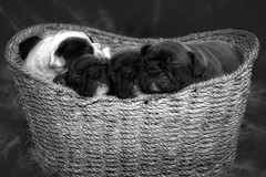💓🐶 Puppy Basket 🐶💓 (Cindy Roy's Photography) Tags: puppy puppies bulldogs bulldog pet pets cute sweet furry adorable basket animals