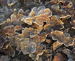 Frosty Leaves (rozwilkinson) Tags: frost leaves