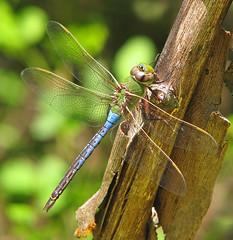 Common green darner (Anax junius) - this weekend (Vicki's Nature) Tags: commongreendarner male big darner dragonfly blue bright biello georgia colorful vickisnature canon s5 3020 dof bokeh