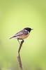 Male Stonechat (Steve (Hooky) Waddingham) Tags: bird british song summer coast countryside nature northumberland wild wildlife photography