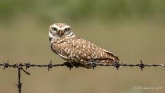 Burrowing Owl (Bob Gunderson) Tags: athnecunicularia birds burrowingowl california dysonlane northerncalifornia owls plumascounty sierras
