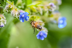 whistle while you work (Paul Wrights Reserved) Tags: bee bees insect inflight insects flyinginsect insectinflight flyinginsects macro macrophotography flower flowers flight flying fly beeinflight insectsinflight beautiful colour colours colourful bokeh bokehphotography