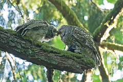 06172018Barred Owl FU5A5195 (Steven Arvid Gerde) Tags: barred owl