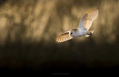 Barn Owl (JustinTheWild) Tags: barnowl flight cotswolds oxfordshire uk evening canon justinhoffmann justinthewild justinthewildphoto hunting
