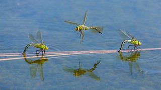 Green Emperor Dragonflies