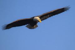 American Bald Eagle Day In The United States (Atascaderocoachsam) Tags: haliaeetusleucocephalus baldeagle