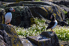 Isle of May 26 May 2018 00117.jpg (JamesPDeans.co.uk) Tags: forthemanwhohaseverything puffin gb greatbritain birds firthofforth auks unitedkingdom eastneuk scotland britain nature printsforsale wwwjamespdeanscouk fife isleofmay jamespdeansphotography landscapeforwalls europe uk digitaldownloadsforlicence