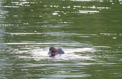 P6212501e1 DF LM (David W Geddes) Tags: grebe little dabchick fish pond wetland park helix kelpies