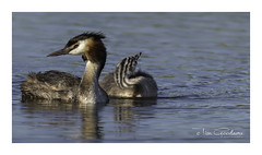 Basking in the last rays. (timgoodacre) Tags: bird birds birdportrait wildbird waterbird water waterfowl waterfoul nature grebe greatcrestedgrebe great ngc