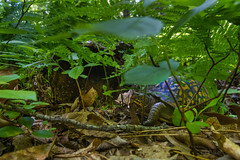 Bearing the scars  3I6207 (Dr DAD (Daniel A D'Auria MD)) Tags: boxturtles turtles easternboxturtles reptiles animals wildlife nature shell carapace tabernacle pinelands pinebarrens childrenswildlifebooksbydanieladauriamd drdadbooks danieladauriamd june2018 newjersey