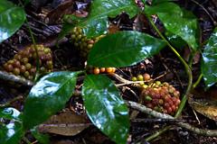 Sarcopetalum harveyanum fruit (Xylopia) Tags: sarcopetalum sarcopetalumharveyanum pearlvine menispermaceae arfcp arfp qrfp lowlandarf uplandarf tropicalarf arffs redarffs
