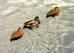 follow the leader (Kens images) Tags: nature ducks habitat colour swimming lakes rivers canon ontario environment free