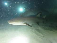 Nurse shark mayhem (roger_forster) Tags: nebriusferrugineus nurseshark maldives indianocean underwater scuba diving nightdive torches sand