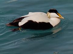 Êider (Somateria mollissima) (Arlindo Fragoso) Tags: êider somateriamollissima birds ducks avifauna pato ave iceland islândia nature wildnature wild