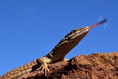 Varanus acanthurus (Boulenger, 1885) (Adrien Farese) Tags: varanus ackie monitor lizard acanthurus boulenger 1885 ridgetail queue épineuse varan varanoid odatria australia mount isa reptile macro nature rock outdoor extérieur