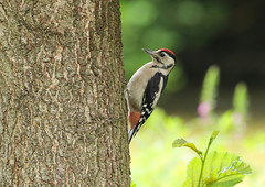 Great Spotted Woodpecker  ( juvenile )----Dendrocopos major (creaturesnapper) Tags: maplelodge uk europe birds woodpeckers juvenile dendrocoposmajor greatspottedwoodpecker