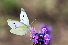 Cabbage whites on lavender blossom (www.holgersbilderwelt.de) Tags: nature beautiful white light beauty summer animal color art natural wildlife garden europe plant wild field outdoor insect closeup fine flora amazing scenic butterfly lovely tranquility season rural countryside perspective agriculture meadow delightful nationalpark valley aperture česko českéšvýcarsko labsképískovce