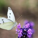 Cabbage whites on lavender blossom thumbnail