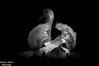 A Glimmer of light (stephenjenkins7) Tags: swans birds birdphotography wildlife nature nikon hank you louise