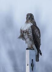 Blue Hour Beauty (T L Sepkovic) Tags: redtailedhawk rth birdsofprey raptors bluehour blue canon 5dmkiv afterdark dusk