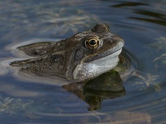 Common Frog (ukstormchaser (A.k.a The Bug Whisperer)) Tags: common frog frogs uk animal animals wildlife amphibian march spring pond croaking water reflection afternoon